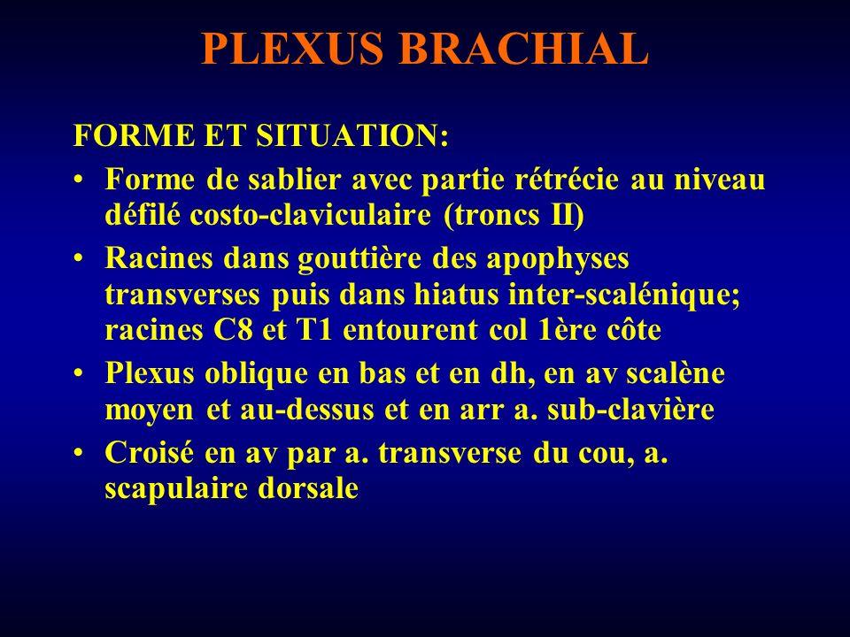 PLEXUS BRACHIAL FORME ET SITUATION: Forme de sablier avec partie rétrécie au niveau défilé costo-claviculaire (troncs II) Racines dans gouttière des a