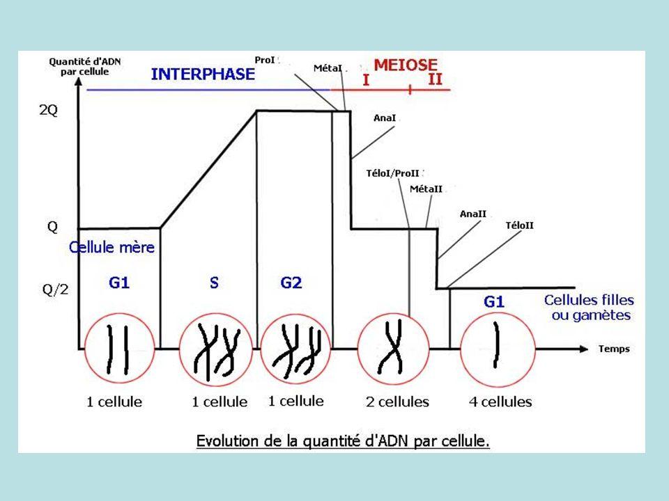 Interprétation des résultats drosophile (croisement 2) F1 Phénotype des parents Génotype des parents Méiose Génotype(s) des gamètes Fécondation Génotype(s) de la F1 Phénotype(s) de la F1 Comparaison avec les résultats expérimentaux