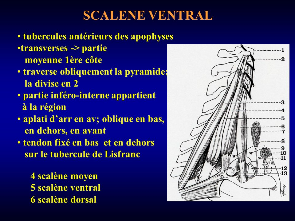 SCALENE VENTRAL tubercules antérieurs des apophyses transverses -> partie moyenne 1ère côte traverse obliquement la pyramide; la divise en 2 partie inféro-interne appartient à la région aplati darr en av; oblique en bas, en dehors, en avant tendon fixé en bas et en dehors sur le tubercule de Lisfranc 4 scalène moyen 5 scalène ventral 6 scalène dorsal
