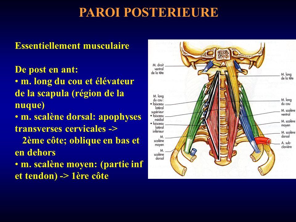 3 segments: en pré-scalénique: profond; en bas: dôme pleural et anses nerveuses; en arr: dôme pleural; en haut: a.
