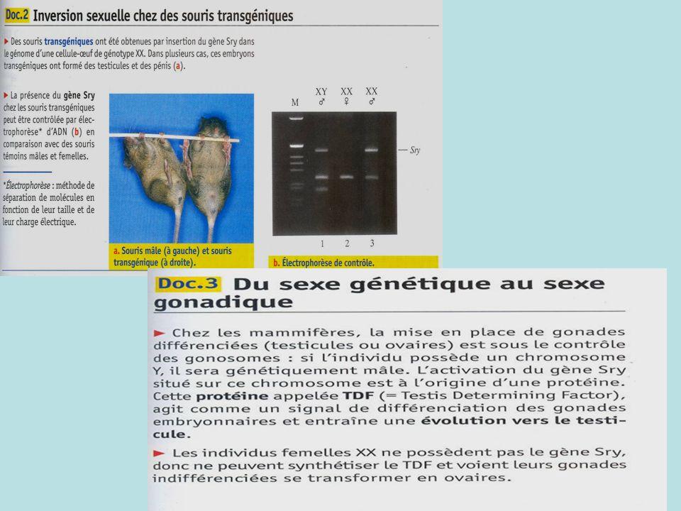 III- Mécanismes à lorigine de la différenciation des appareils génitaux au cours de la vie embryonnaire Hypothèse : indices donnés par les modificatio
