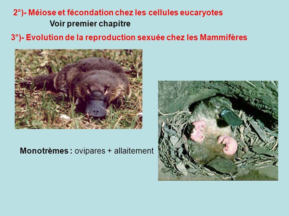 2°)- Méiose et fécondation chez les cellules eucaryotes Voir premier chapitre 3°)- Evolution de la reproduction sexuée chez les Mammifères Monotrèmes : ovipares + allaitement