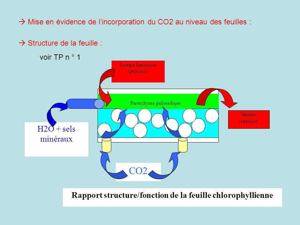 Mise en évidence de lincorporation du CO2 au niveau des feuilles : Structure de la feuille : voir TP n ° 1 Parenchyme palissadique H2O + sels minéraux
