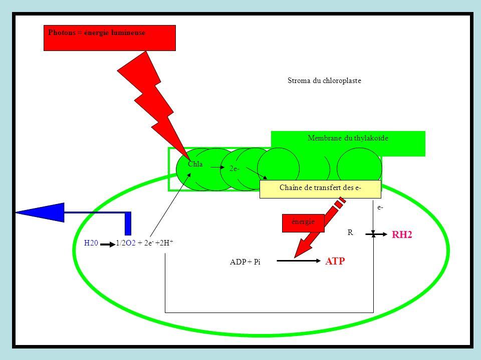R RH2 e- ADP + Pi ATP Stroma du chloroplaste Chla Membrane du thylakoïde Chaîne de transfert des e- énergie H20 1/2O2 + 2e - +2H + Photons = énergie l