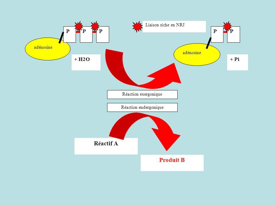 adénosine PPP + H2O+ Pi adénosine PP Liaison riche en NRJ Réactif A Produit B Réaction exergonique Réaction endergonique