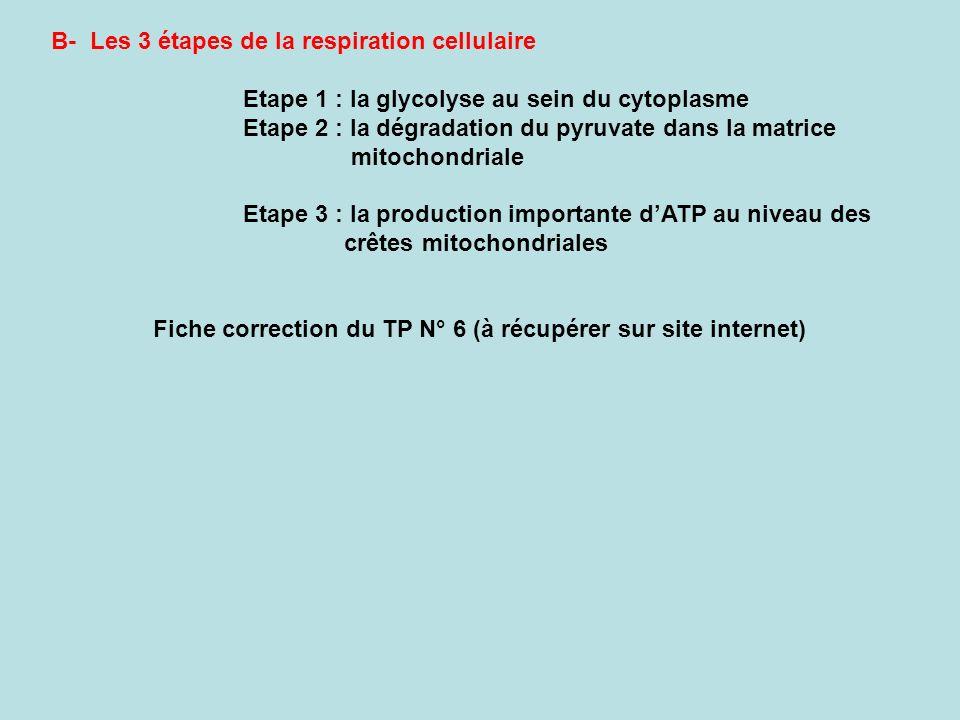 B- Les 3 étapes de la respiration cellulaire Etape 1 : la glycolyse au sein du cytoplasme Etape 2 : la dégradation du pyruvate dans la matrice mitocho