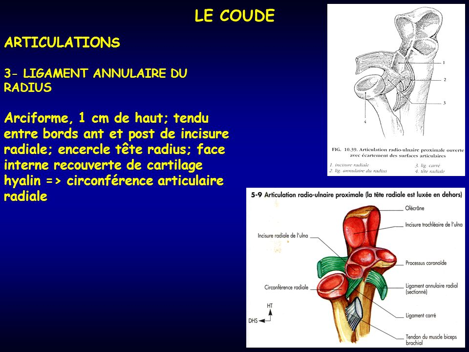 LE COUDE ARTICULATIONS 3- LIGAMENT ANNULAIRE DU RADIUS Arciforme, 1 cm de haut; tendu entre bords ant et post de incisure radiale; encercle tête radius; face interne recouverte de cartilage hyalin => circonférence articulaire radiale