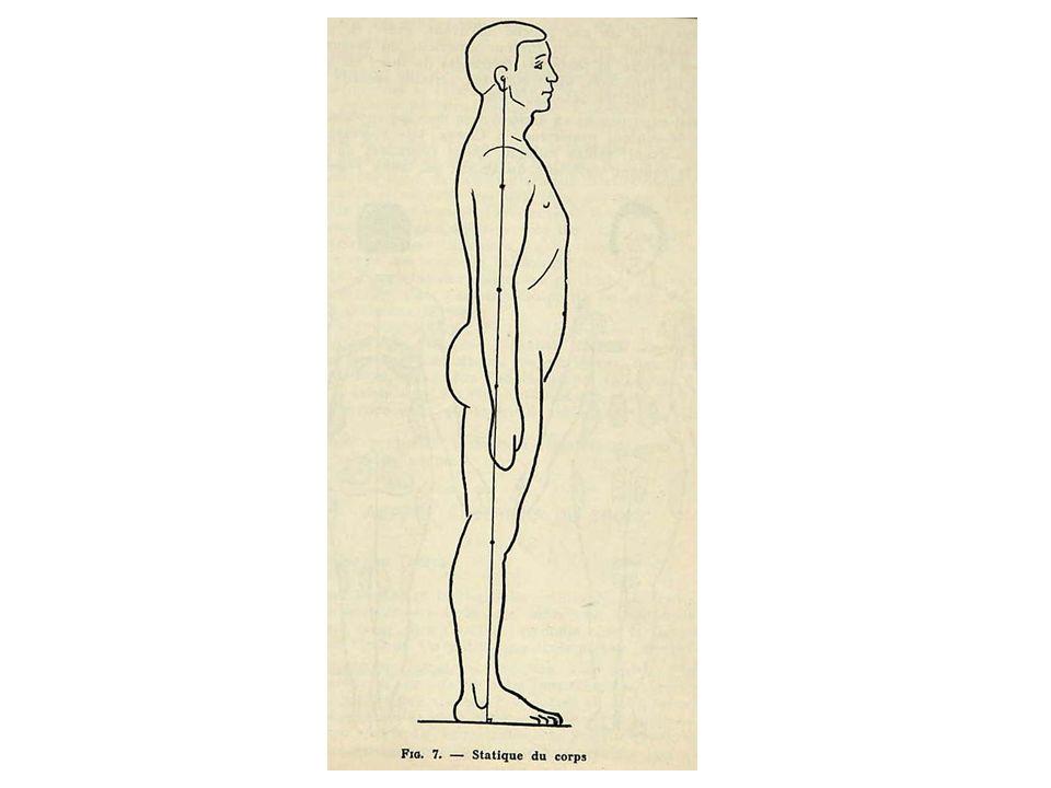 1.sillon médian : - de lappendice xiphoïde à la symphyse pubienne.