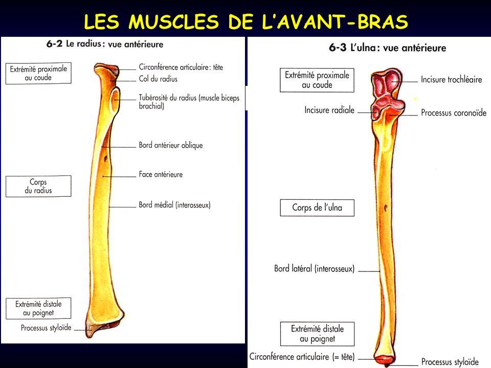 LES MUSCLES DE LAVANT-BRAS