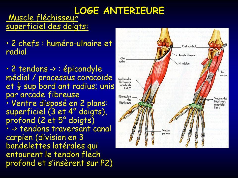 LOGE ANTERIEURE Muscle fléchisseur superficiel des doigts: 2 chefs : huméro-ulnaire et radial 2 tendons -> : épicondyle médial / processus coracoïde e