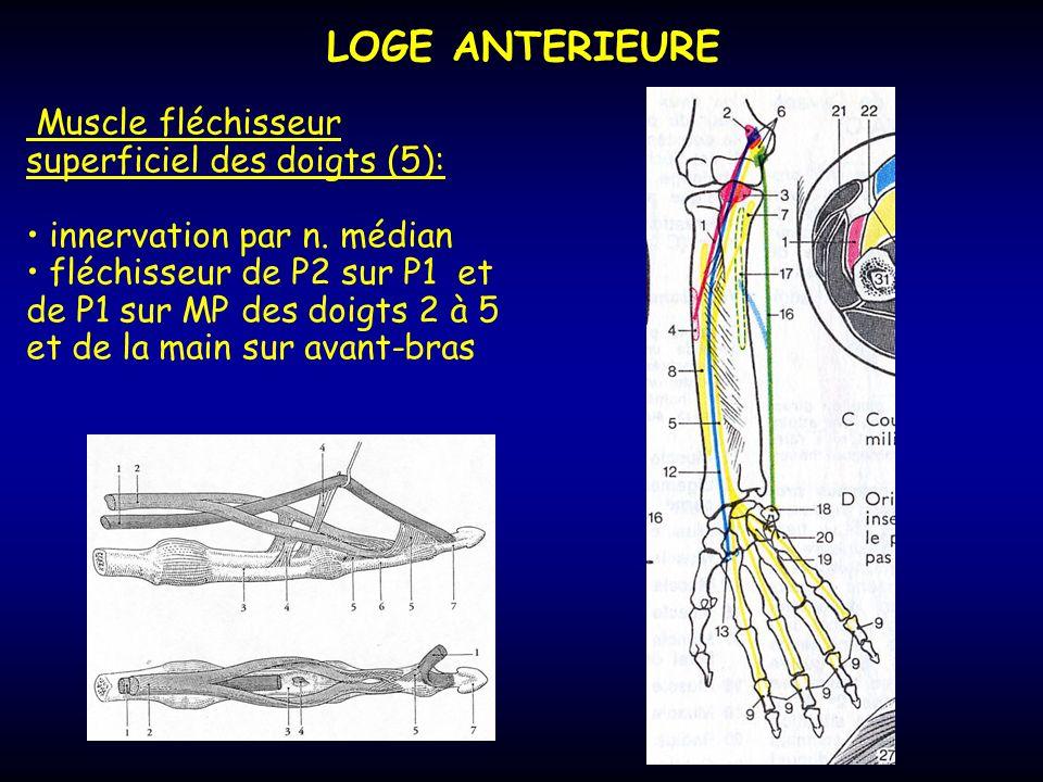 LOGE ANTERIEURE Muscle fléchisseur superficiel des doigts (5): innervation par n. médian fléchisseur de P2 sur P1 et de P1 sur MP des doigts 2 à 5 et