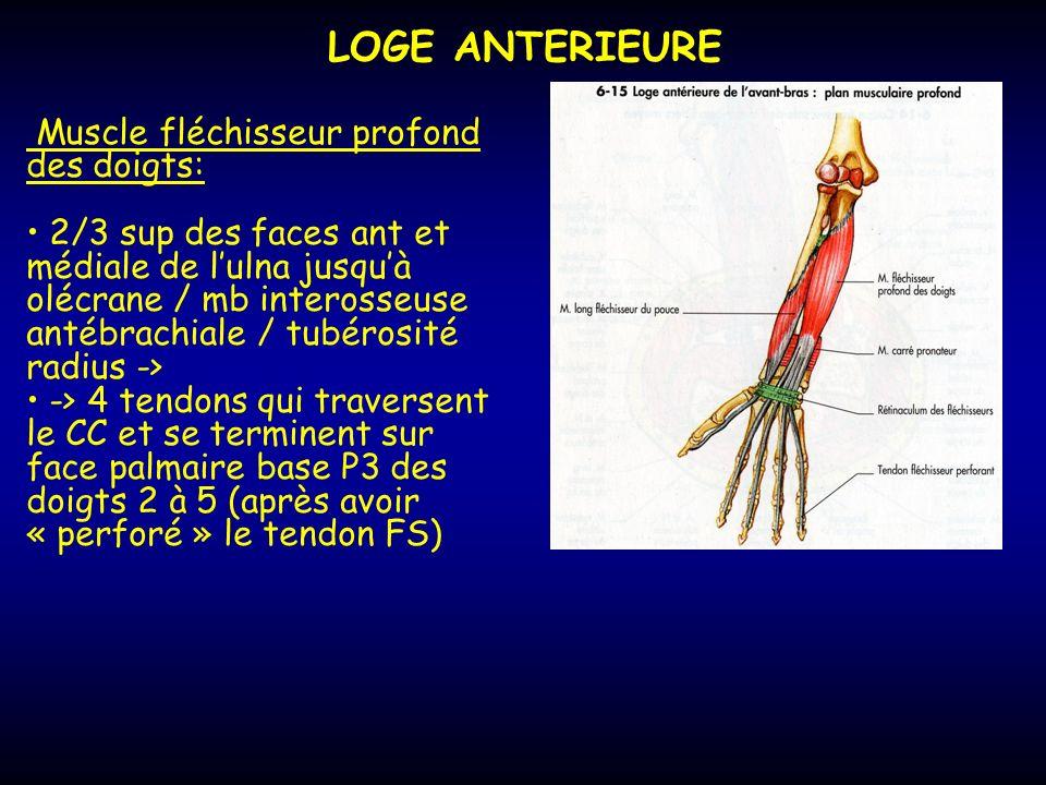 LOGE ANTERIEURE Muscle fléchisseur profond des doigts: 2/3 sup des faces ant et médiale de lulna jusquà olécrane / mb interosseuse antébrachiale / tub