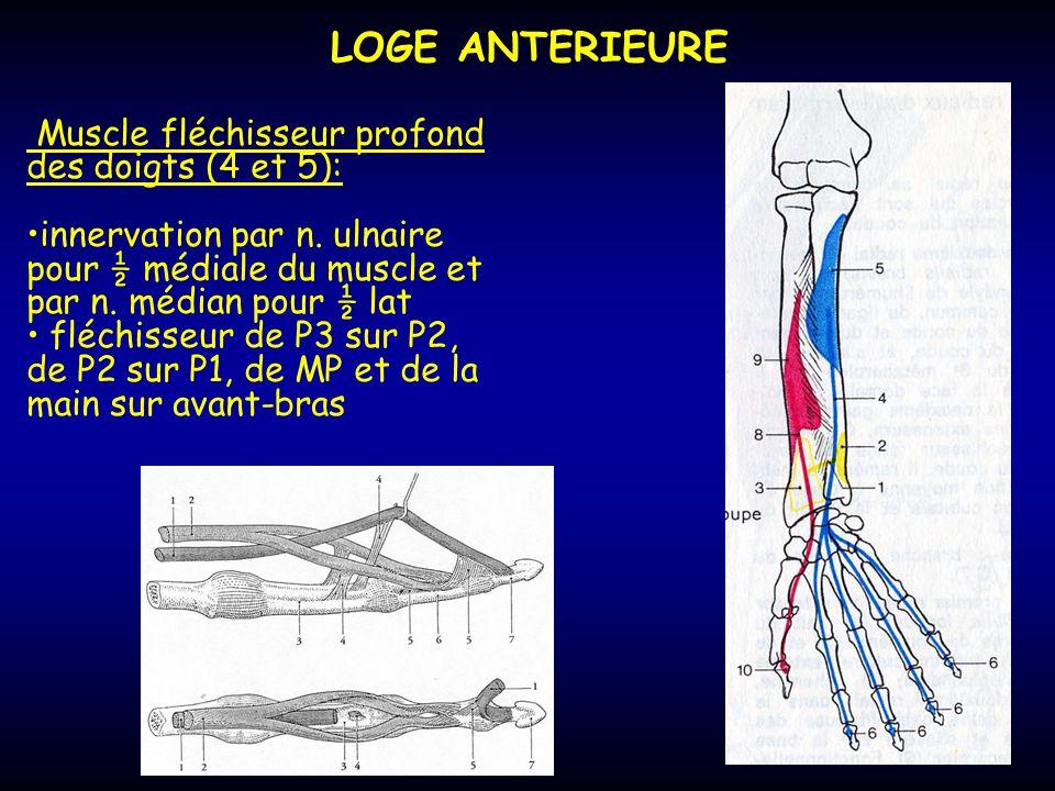LOGE ANTERIEURE Muscle fléchisseur profond des doigts (4 et 5): innervation par n. ulnaire pour ½ médiale du muscle et par n. médian pour ½ lat fléchi