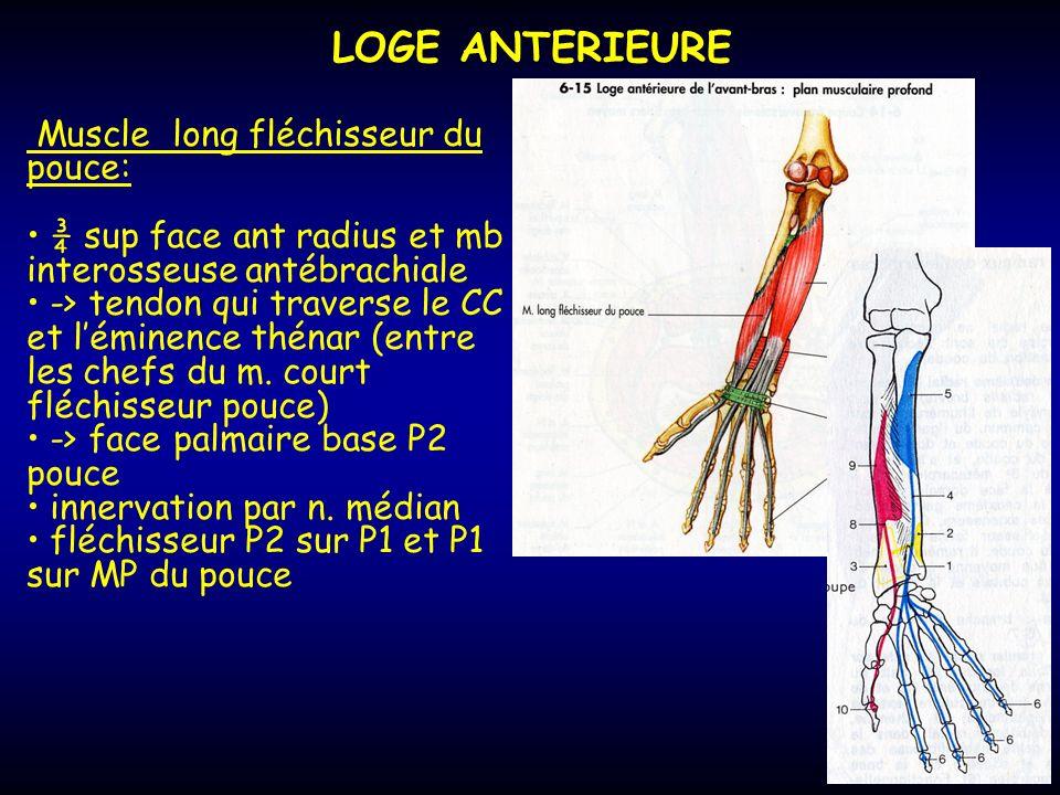 LOGE ANTERIEURE Muscle long fléchisseur du pouce: ¾ sup face ant radius et mb interosseuse antébrachiale -> tendon qui traverse le CC et léminence thé