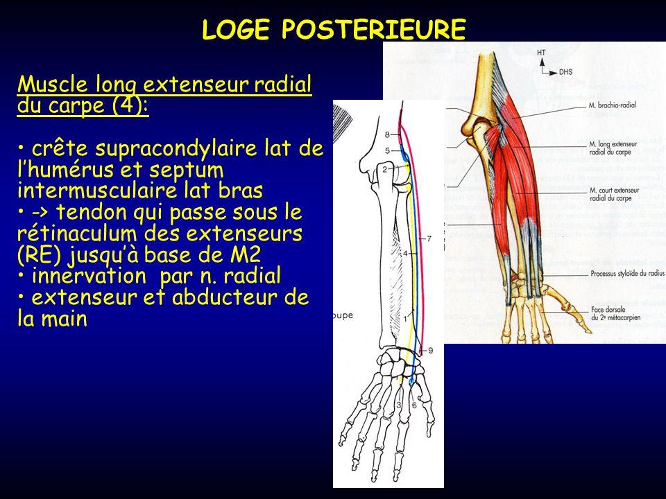LOGE POSTERIEURE Muscle long extenseur radial du carpe (4): crête supracondylaire lat de lhumérus et septum intermusculaire lat bras -> tendon qui pas