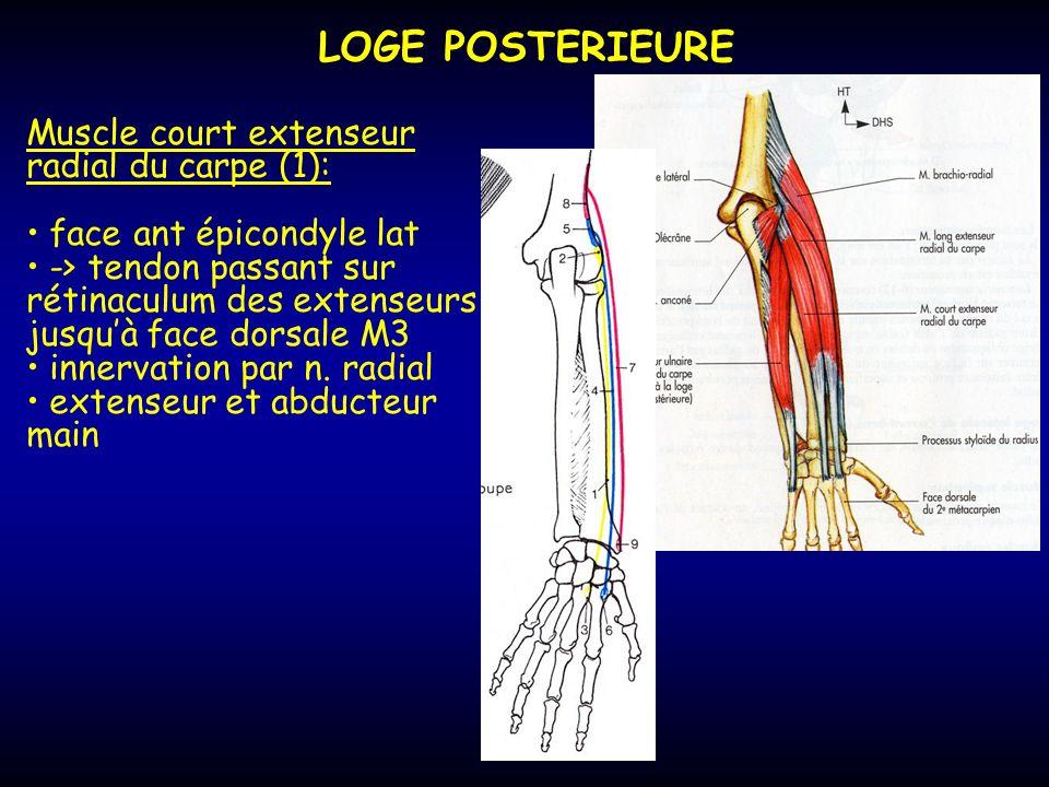 LOGE POSTERIEURE Muscle court extenseur radial du carpe (1): face ant épicondyle lat -> tendon passant sur rétinaculum des extenseurs jusquà face dors