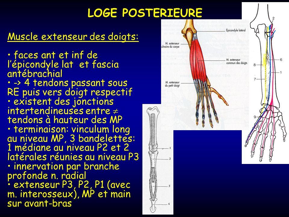 LOGE POSTERIEURE Muscle extenseur des doigts: faces ant et inf de lépicondyle lat et fascia antébrachial -> 4 tendons passant sous RE puis vers doigt