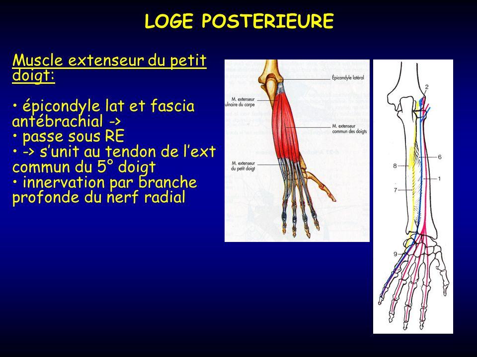 LOGE POSTERIEURE Muscle extenseur du petit doigt: épicondyle lat et fascia antébrachial -> passe sous RE -> sunit au tendon de lext commun du 5° doigt
