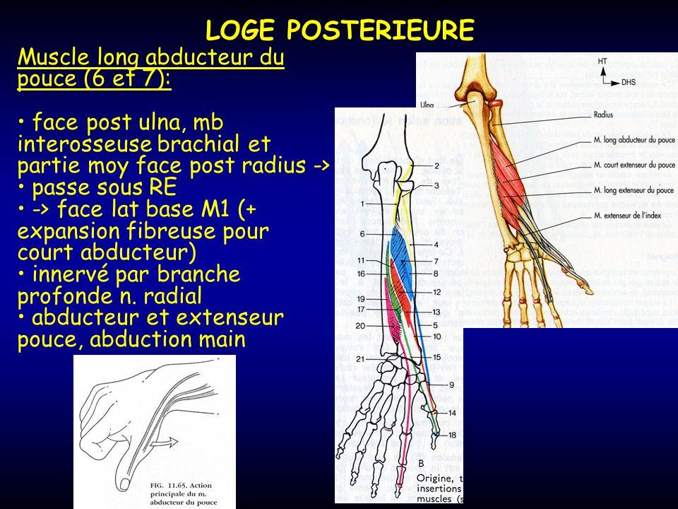 LOGE POSTERIEURE Muscle long abducteur du pouce (6 et 7): face post ulna, mb interosseuse brachial et partie moy face post radius -> passe sous RE ->