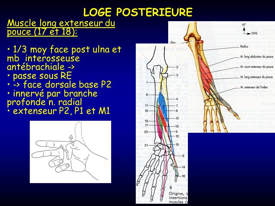 LOGE POSTERIEURE Muscle long extenseur du pouce (17 et 18): 1/3 moy face post ulna et mb interosseuse antébrachiale -> passe sous RE -> face dorsale b