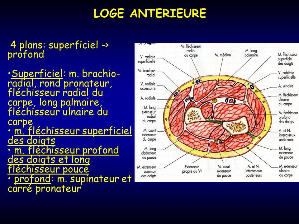 LOGE ANTERIEURE 4 plans: superficiel -> profond Superficiel: m. brachio- radial, rond pronateur, fléchisseur radial du carpe, long palmaire, fléchisse