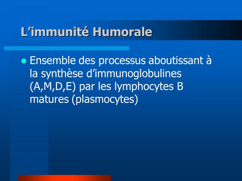 Limmunité Humorale Ensemble des processus aboutissant à la synthèse dimmunoglobulines (A,M,D,E) par les lymphocytes B matures (plasmocytes)