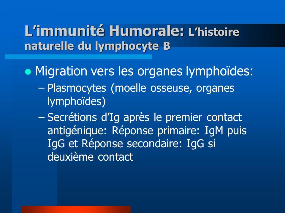 Limmunité Humorale: Lhistoire naturelle du lymphocyte B Migration vers les organes lymphoïdes: –Plasmocytes (moelle osseuse, organes lymphoïdes) –Secrétions dIg après le premier contact antigénique: Réponse primaire: IgM puis IgG et Réponse secondaire: IgG si deuxième contact