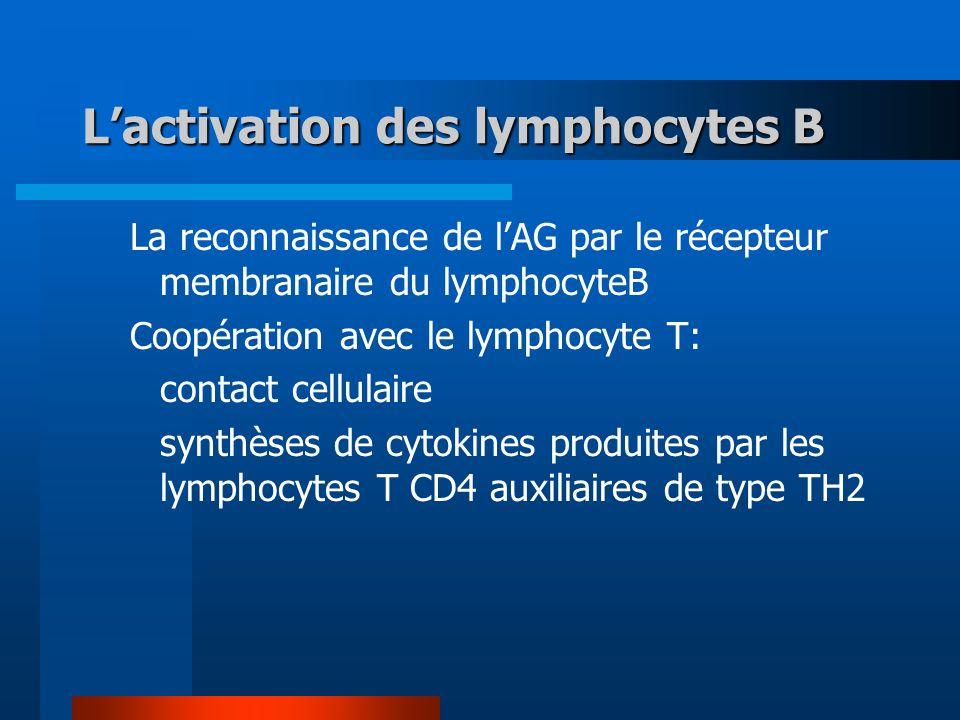 Lactivation des lymphocytes B La reconnaissance de lAG par le récepteur membranaire du lymphocyteB Coopération avec le lymphocyte T: contact cellulaire synthèses de cytokines produites par les lymphocytes T CD4 auxiliaires de type TH2