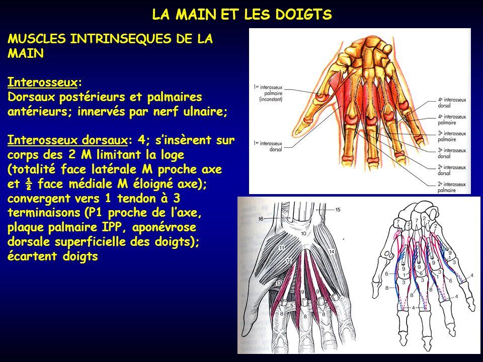 LA MAIN ET LES DOIGTS MUSCLES INTRINSEQUES DE LA MAIN Interosseux: Dorsaux postérieurs et palmaires antérieurs; innervés par nerf ulnaire; Interosseux
