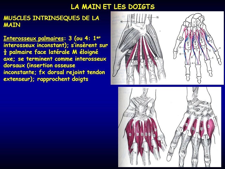 LA MAIN ET LES DOIGTS MUSCLES INTRINSEQUES DE LA MAIN Interosseux palmaires: 3 (ou 4: 1 er interosseux inconstant); sinsèrent sur ½ palmaire face laté