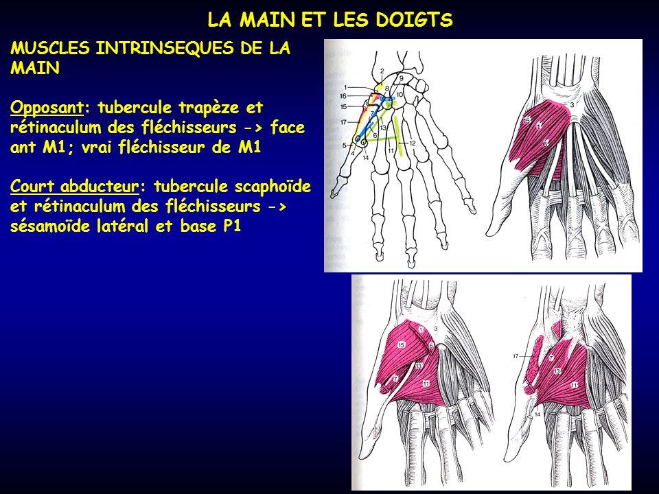 LA MAIN ET LES DOIGTS MUSCLES INTRINSEQUES DE LA MAIN Opposant: tubercule trapèze et rétinaculum des fléchisseurs -> face ant M1; vrai fléchisseur de