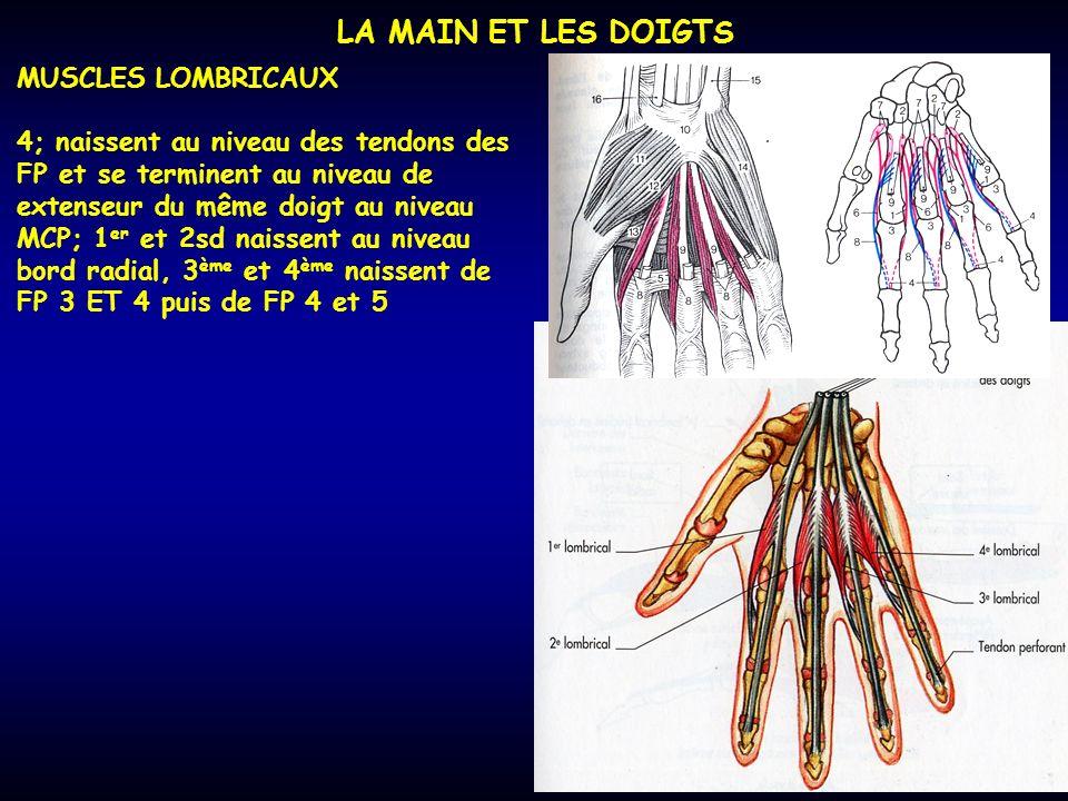 LA MAIN ET LES DOIGTS MUSCLES LOMBRICAUX 4; naissent au niveau des tendons des FP et se terminent au niveau de extenseur du même doigt au niveau MCP;