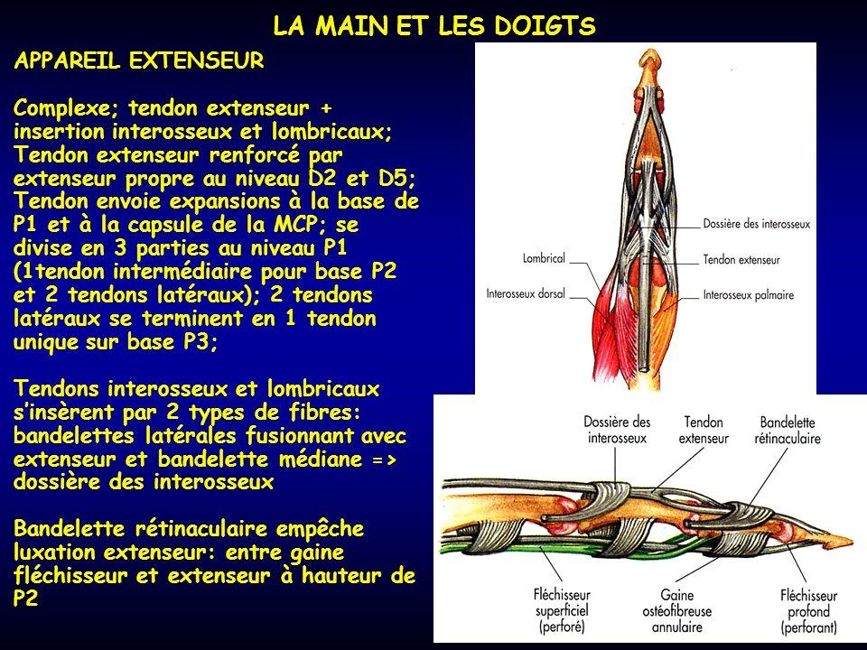 LA MAIN ET LES DOIGTS APPAREIL EXTENSEUR Complexe; tendon extenseur + insertion interosseux et lombricaux; Tendon extenseur renforcé par extenseur pro