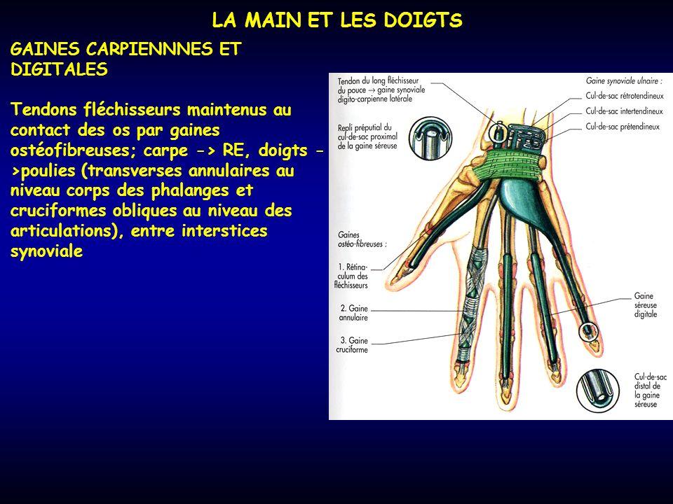LA MAIN ET LES DOIGTS GAINES CARPIENNNES ET DIGITALES Tendons fléchisseurs maintenus au contact des os par gaines ostéofibreuses; carpe -> RE, doigts