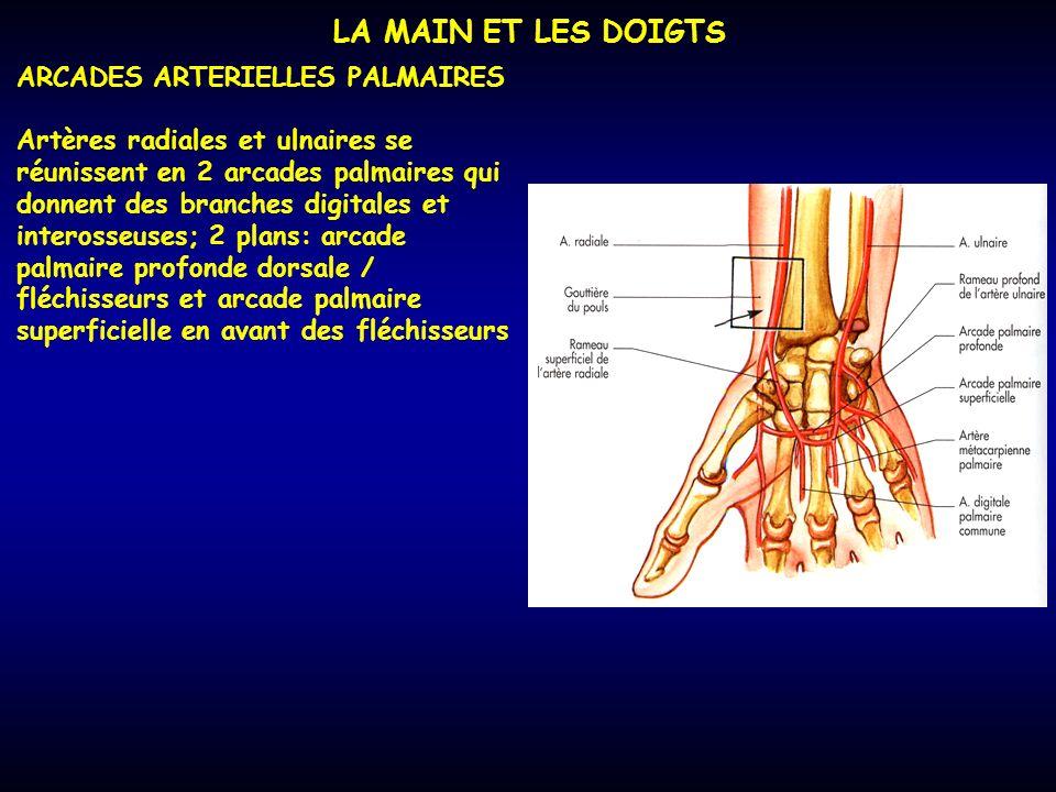 LA MAIN ET LES DOIGTS ARCADES ARTERIELLES PALMAIRES Artères radiales et ulnaires se réunissent en 2 arcades palmaires qui donnent des branches digital