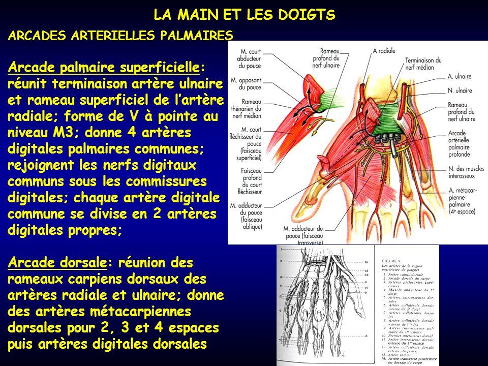 LA MAIN ET LES DOIGTS ARCADES ARTERIELLES PALMAIRES Arcade palmaire superficielle: réunit terminaison artère ulnaire et rameau superficiel de lartère