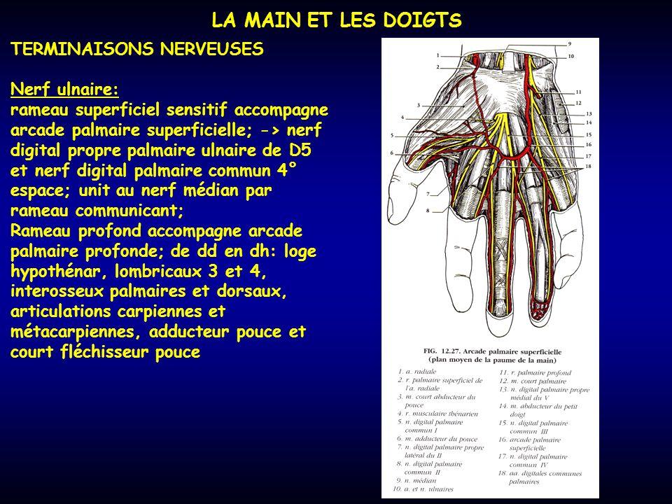LA MAIN ET LES DOIGTS TERMINAISONS NERVEUSES Nerf ulnaire: rameau superficiel sensitif accompagne arcade palmaire superficielle; -> nerf digital propr