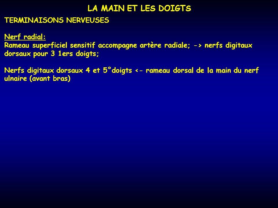 LA MAIN ET LES DOIGTS TERMINAISONS NERVEUSES Nerf radial: Rameau superficiel sensitif accompagne artère radiale; -> nerfs digitaux dorsaux pour 3 1ers