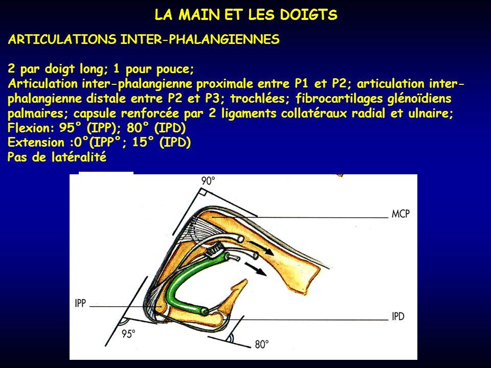 LA MAIN ET LES DOIGTS ARTICULATIONS INTER-PHALANGIENNES 2 par doigt long; 1 pour pouce; Articulation inter-phalangienne proximale entre P1 et P2; arti