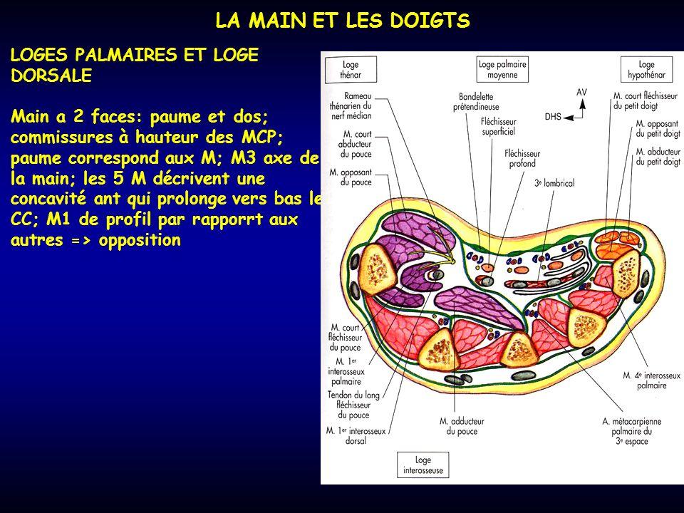 LA MAIN ET LES DOIGTS LOGES PALMAIRES ET LOGE DORSALE Main a 2 faces: paume et dos; commissures à hauteur des MCP; paume correspond aux M; M3 axe de l