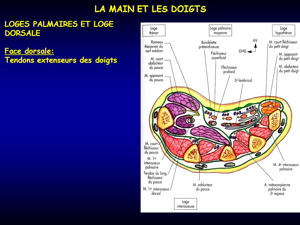 LA MAIN ET LES DOIGTS LOGES PALMAIRES ET LOGE DORSALE Face dorsale: Tendons extenseurs des doigts