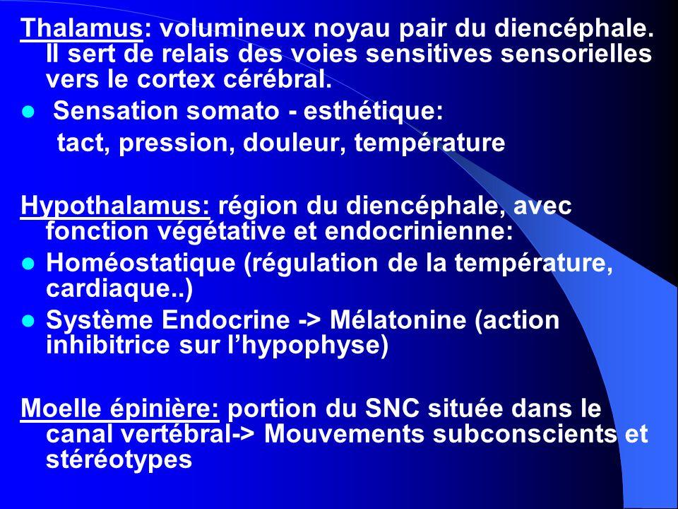 Thalamus: volumineux noyau pair du diencéphale. Il sert de relais des voies sensitives sensorielles vers le cortex cérébral. Sensation somato - esthét