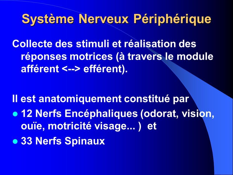 Système Nerveux Périphérique Collecte des stimuli et réalisation des réponses motrices (à travers le module afférent efférent). Il est anatomiquement