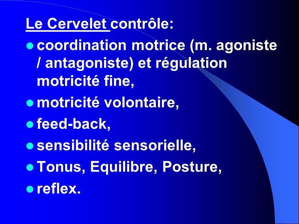 Le Cervelet contrôle: coordination motrice (m. agoniste / antagoniste) et régulation motricité fine, motricité volontaire, feed-back, sensibilité sens