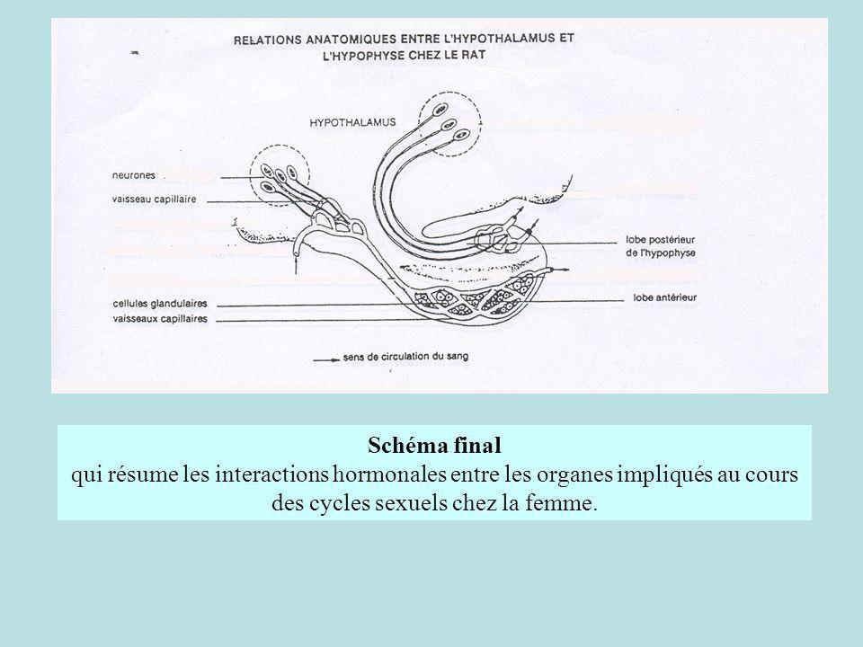 Schéma final qui résume les interactions hormonales entre les organes impliqués au cours des cycles sexuels chez la femme.