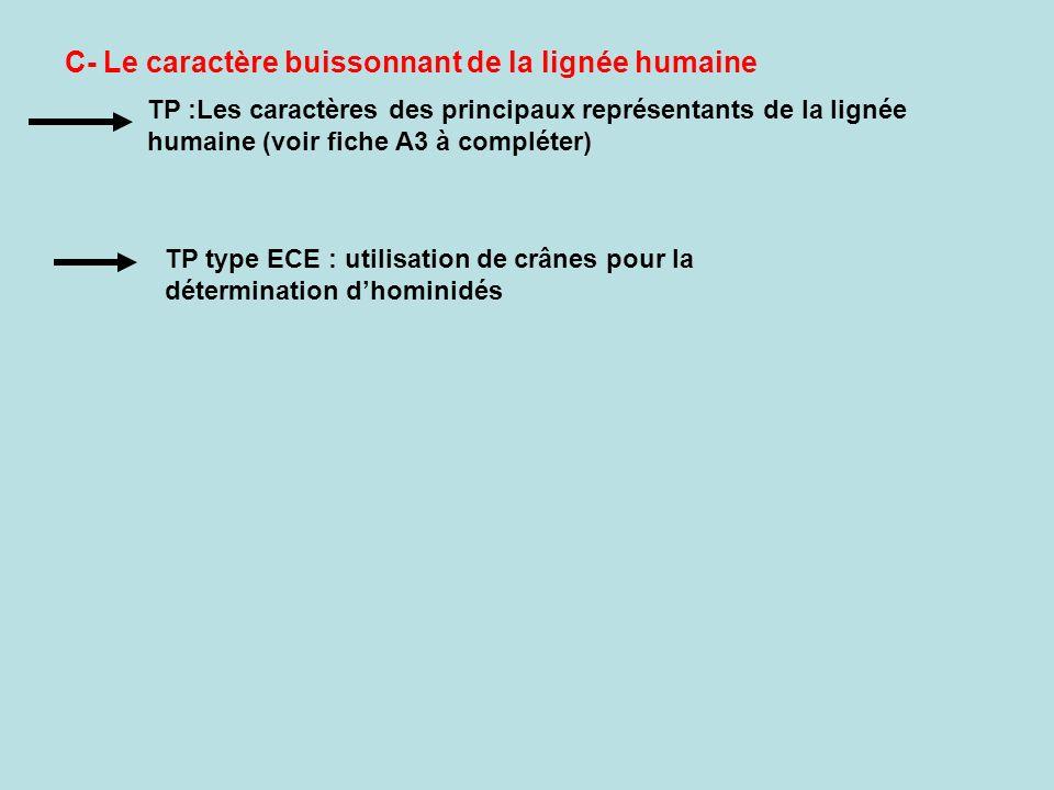 C- Le caractère buissonnant de la lignée humaine TP :Les caractères des principaux représentants de la lignée humaine (voir fiche A3 à compléter) TP type ECE : utilisation de crânes pour la détermination dhominidés