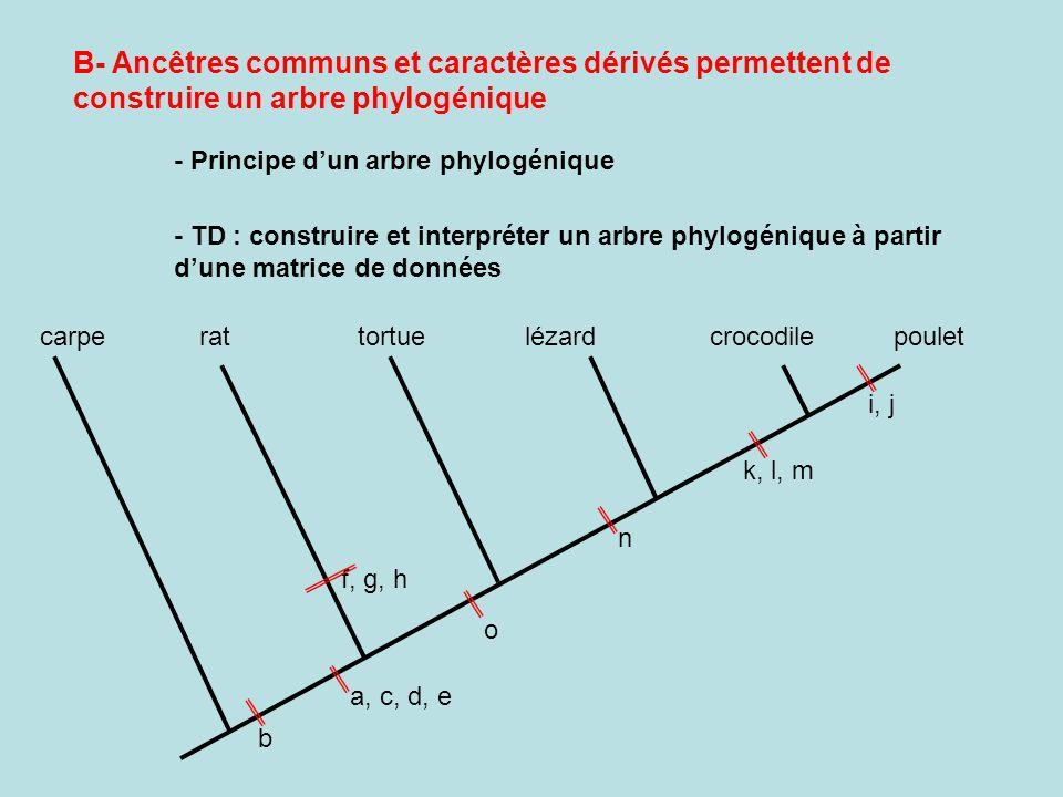 B- Ancêtres communs et caractères dérivés permettent de construire un arbre phylogénique - Principe dun arbre phylogénique - TD : construire et interpréter un arbre phylogénique à partir dune matrice de données carperattortuelézardcrocodilepoulet b a, c, d, e f, g, h o n i, j k, l, m