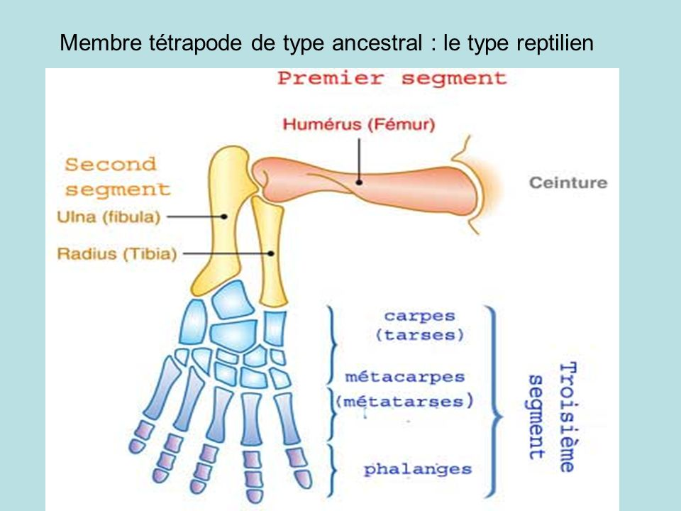 Membre tétrapode de type ancestral : le type reptilien