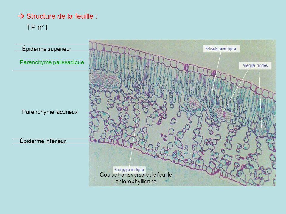 Épiderme inférieur Épiderme supérieur Parenchyme palissadique Parenchyme lacuneux Coupe transversale de feuille chlorophyllienne TP n°1 Structure de l