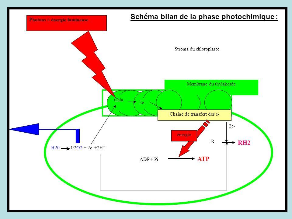 R RH2 2e- ADP + Pi ATP Stroma du chloroplaste Chla Membrane du thylakoïde Chaîne de transfert des e- énergie H20 1/2O2 + 2e - +2H + Photons = énergie